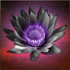 Fäuste des Schwarzen Lotus